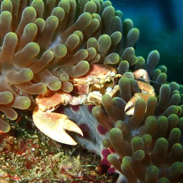 害羞的海葵蟹