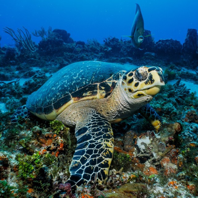 Hawksbill turtle looks up between bites of sponge