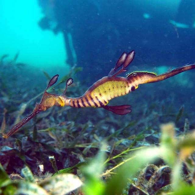 Weedy Sea Dragon heaven