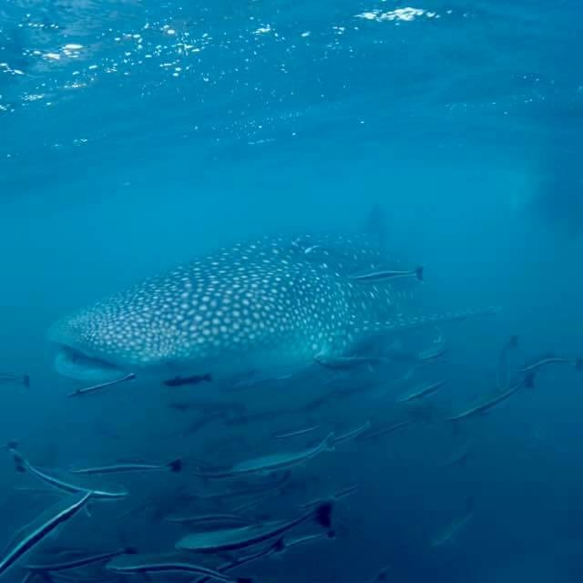 whaleshark play with us til last min of dive