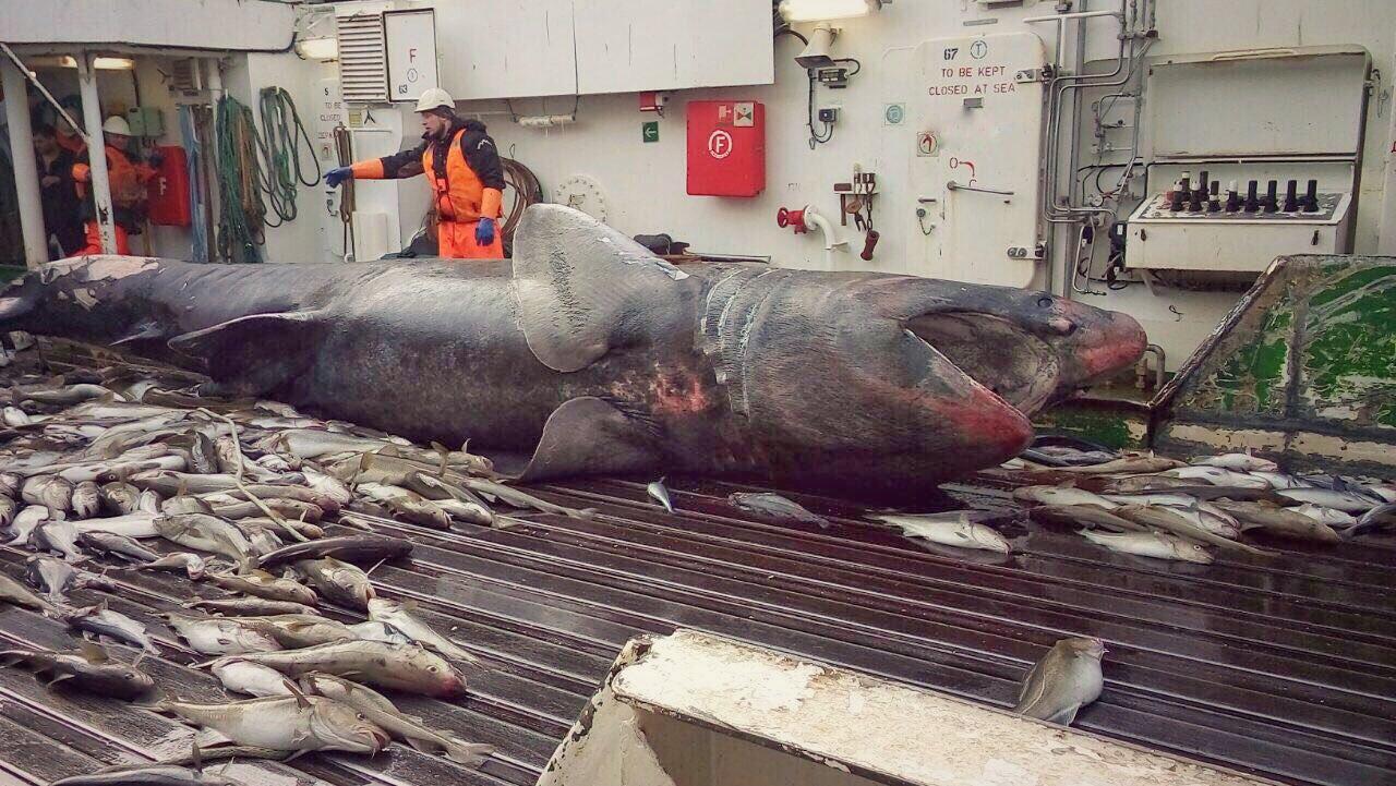 Accidental basking shark bycatch