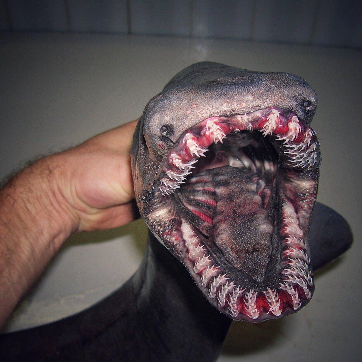 frilled shark.jpg