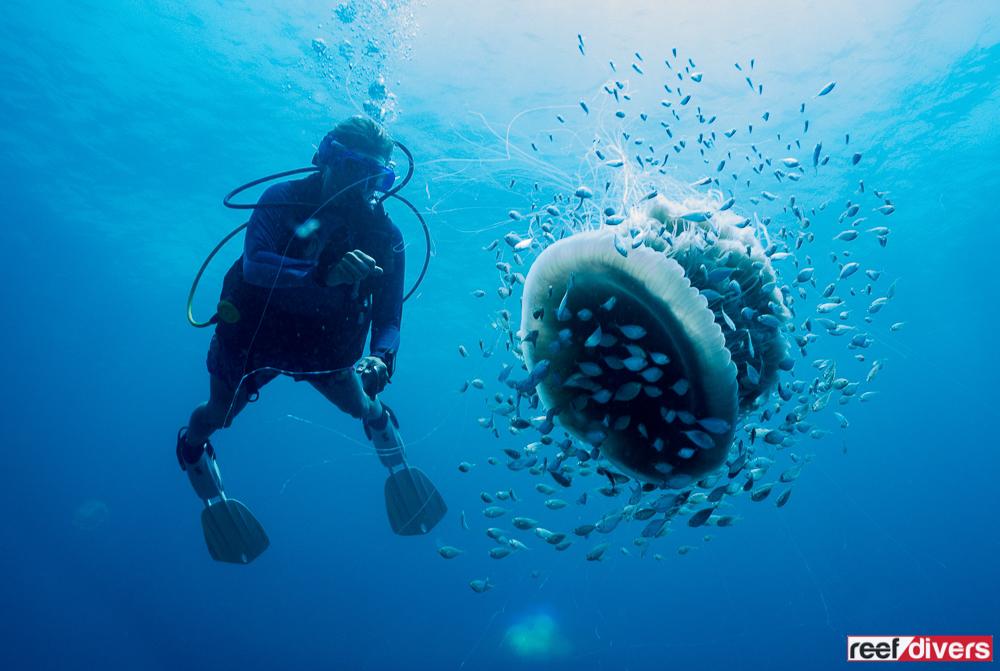 Drymonema-Jellyfish-31.jpg