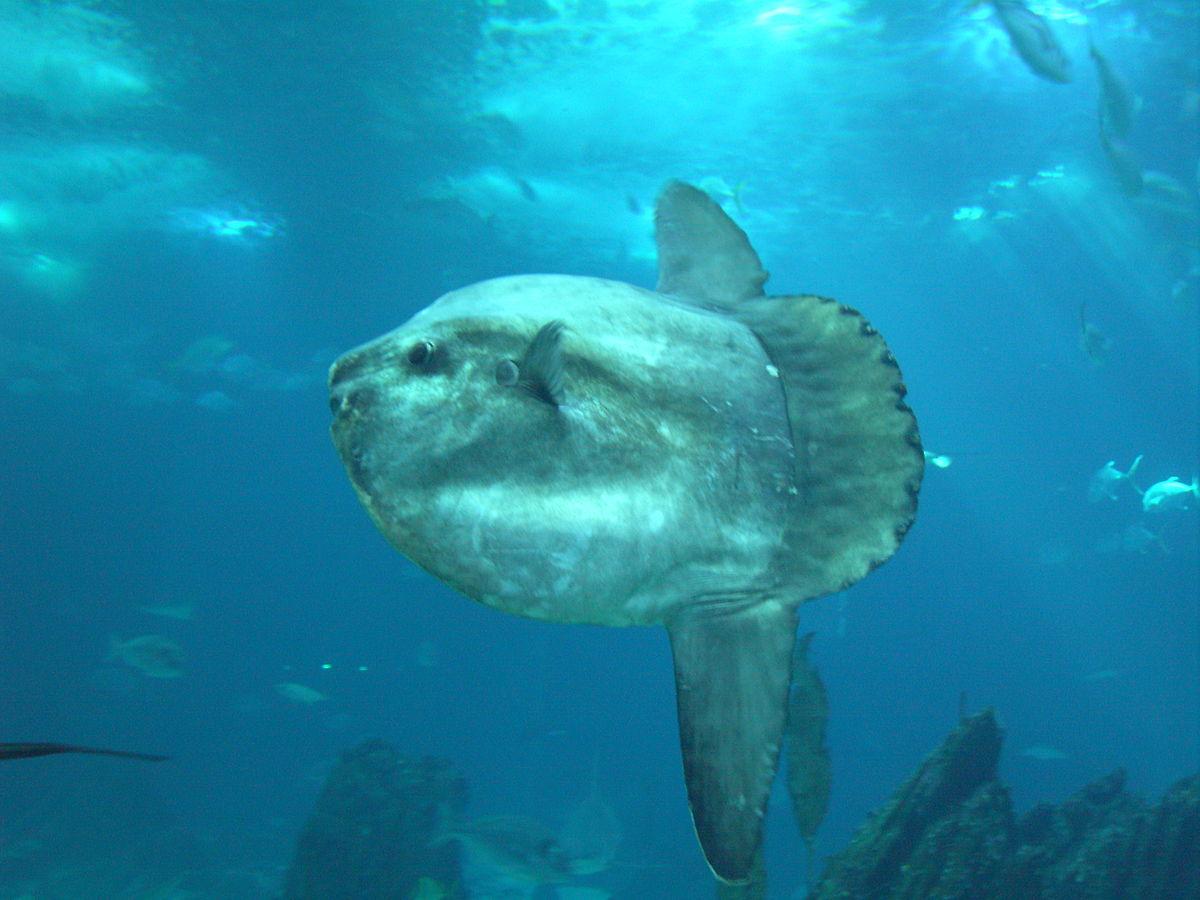 Sunfish_3.jpg