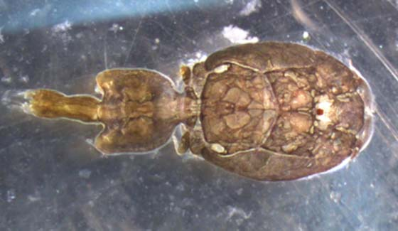 sea flea AP.jpg