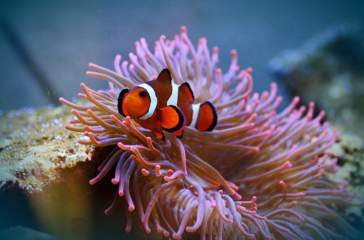 Anemone_Fish_1.jpg