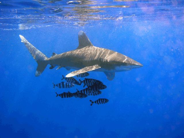 Shark_Pilot_1.png