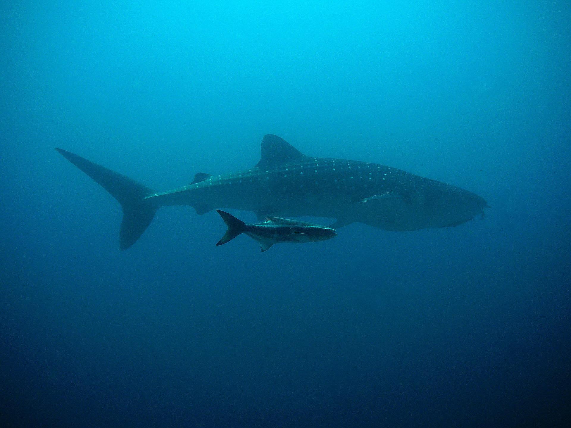 whale-shark-207401_1920.jpg
