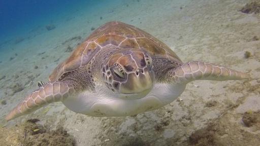 turtle-swimming-curacao