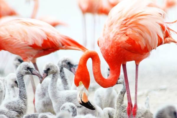inagua-flamingo-bahamas