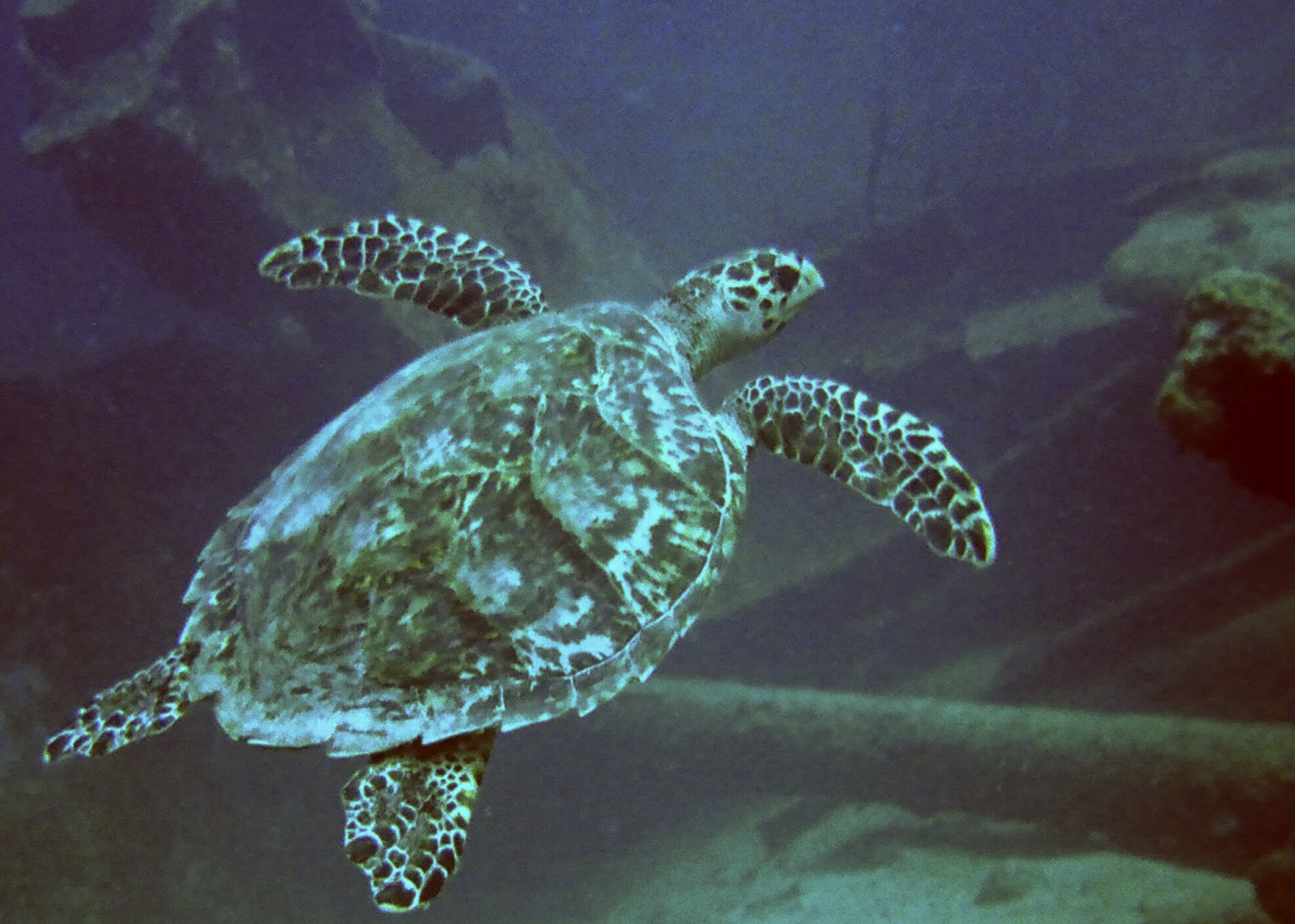 Turtle_at_Antilla_Wreck_Aruba_(2916429432).jpg