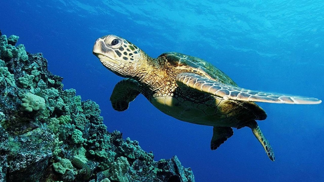 turtle-swimming-cozumel