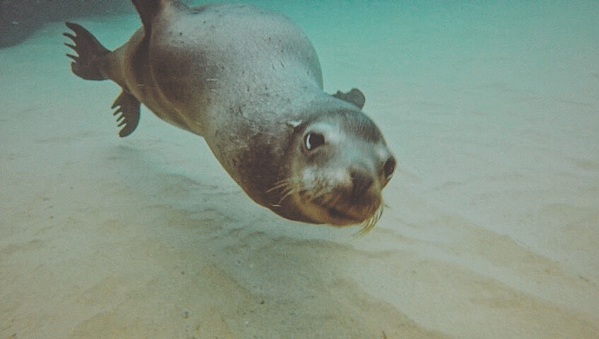 seal-swimming-baja-california