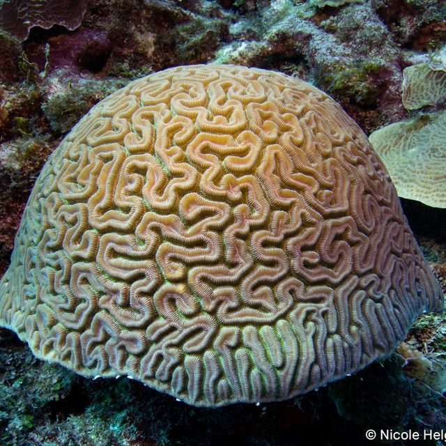 It's a brain! Diploria labrinthiformas common name Grooved Brain Coral