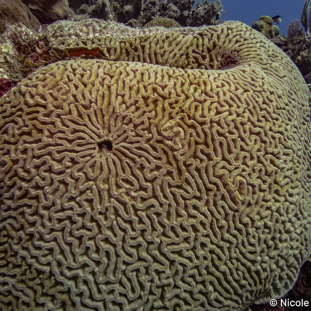 Colpophyllia natan grows into huge boulders