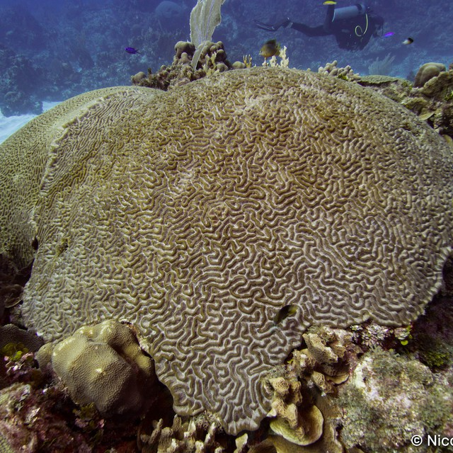Colpophyllia is also called Boulder Brain Coral and Large-Grooved Brain Coral