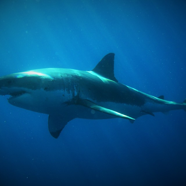 Magnificent 4.5 meters Great White Shark female taken in Guadalupe Island.