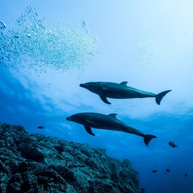 2 dolphins swim side by side above the rocky reef
