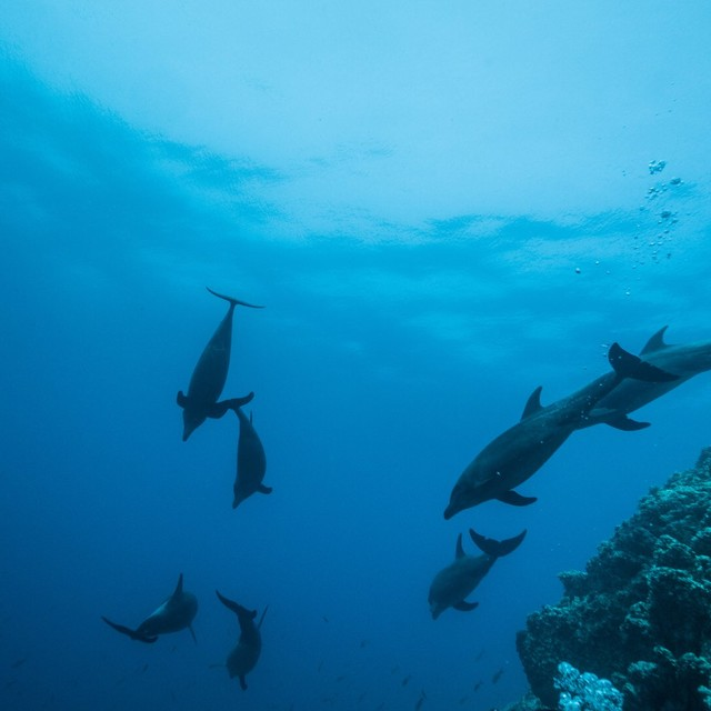 A pod of dolphins swim past after interacting with divers