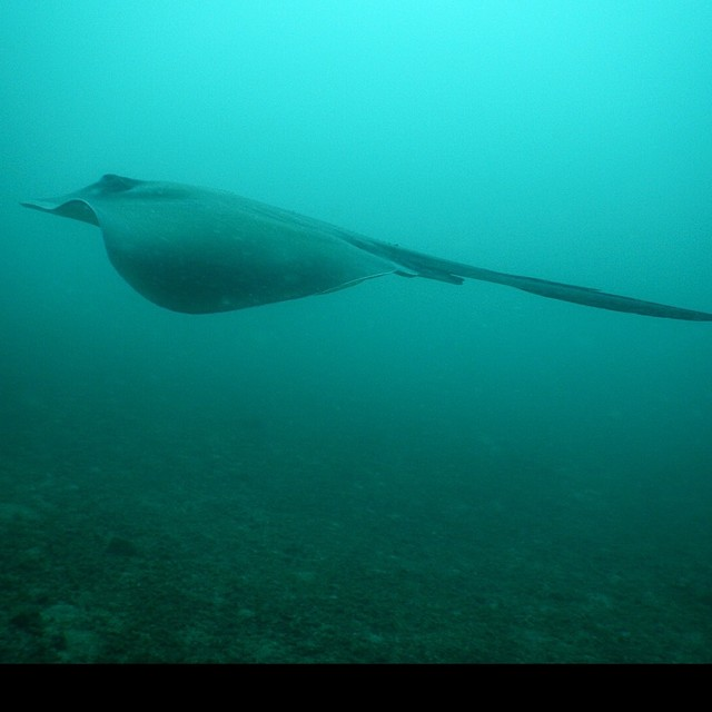 Long-tail stingray.