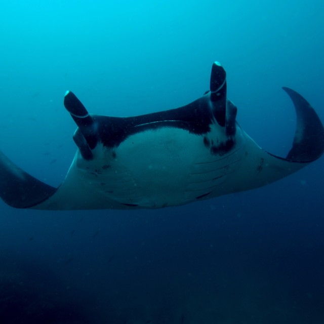 Giant Manta at Bat Islands Costa Rica.