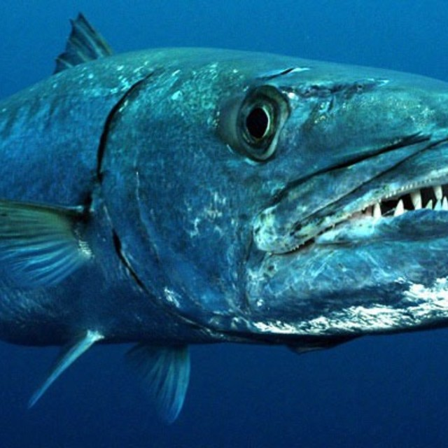 Großer Barracuda 💪