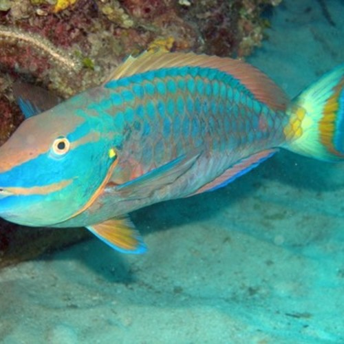 Papageienfische