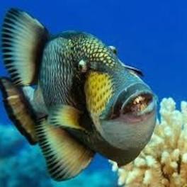 Triggerfische