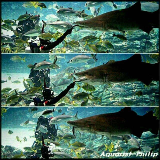 aquarist phillip/ shark feeding show~