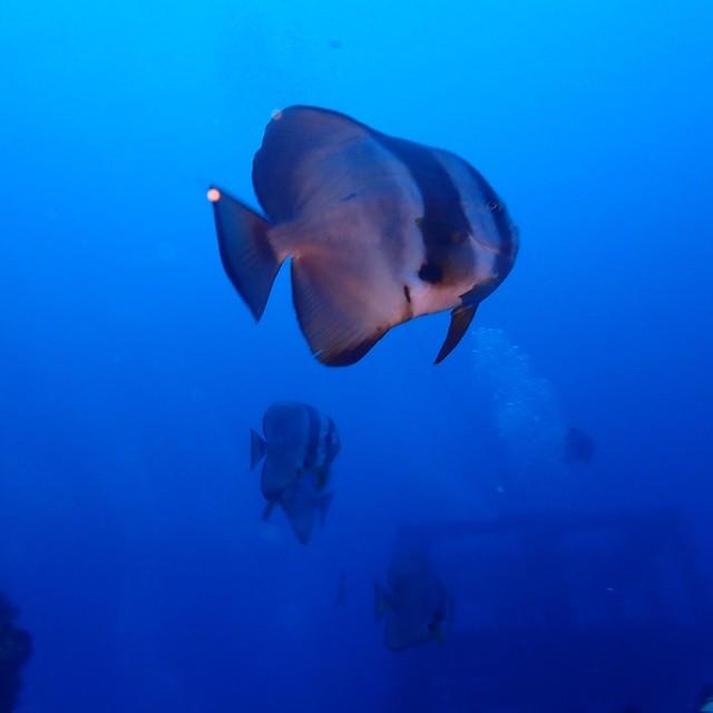 海水保育的重要,燕魚變多嘍!