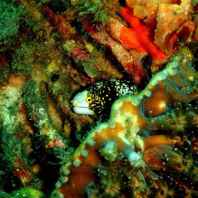 Smiling morray eel, seen at TK point, Lembeh strait, ID