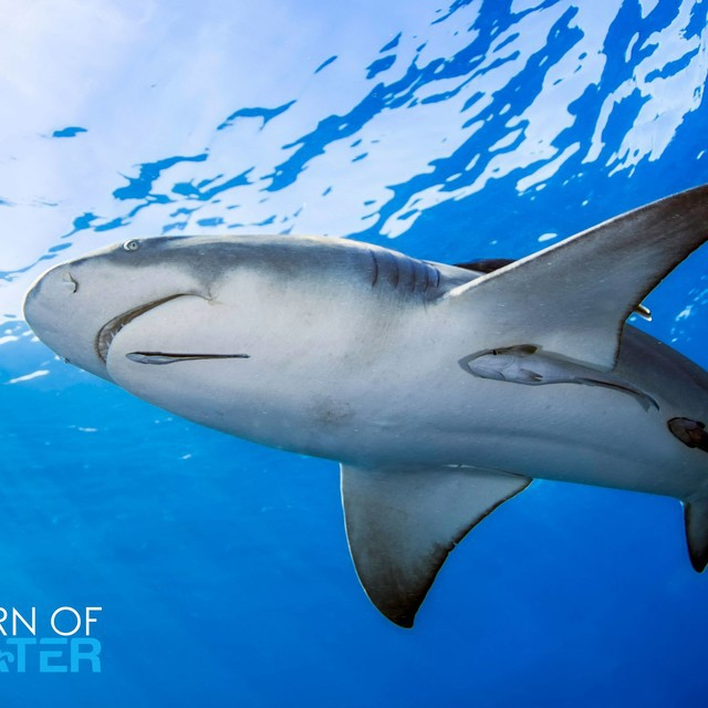 Lemon Shark on the Prowel