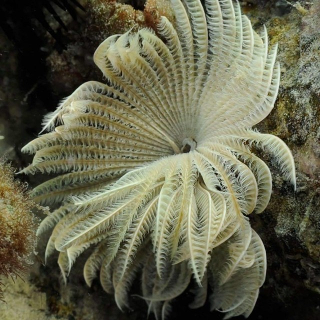 """Featherduster Worm"""