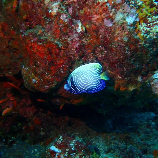 A juvenile of Emperor Angelfish