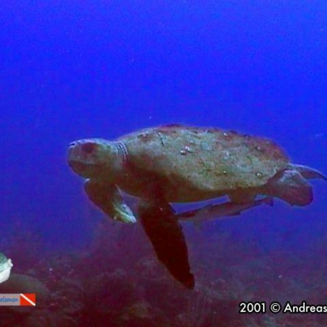 A loggerhead turtle after the party