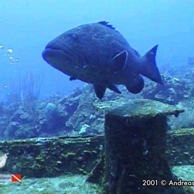 A black grouper