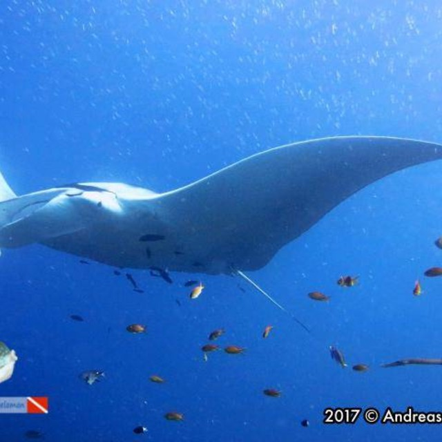 A oceanic manta ray.
