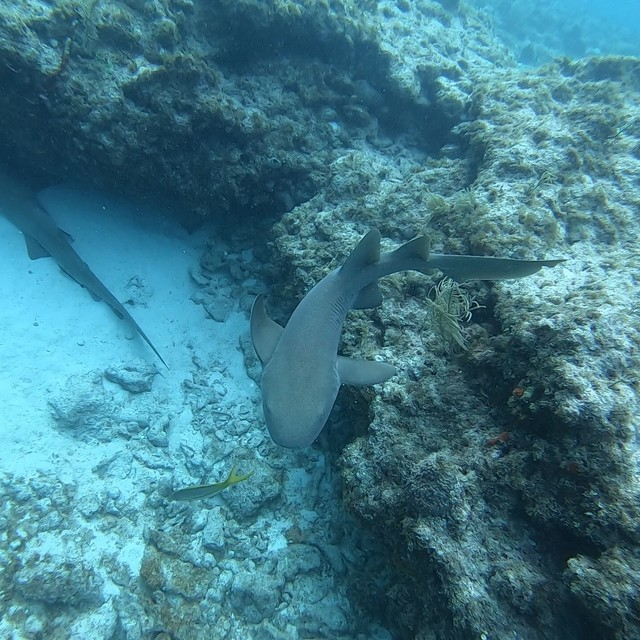 A couple of Nurse sharks saying hi to the locals