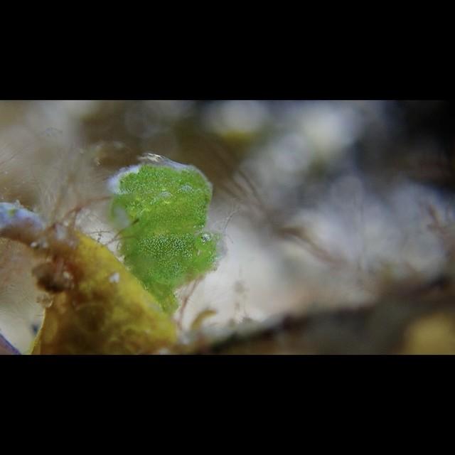 Phycocaris simulans green